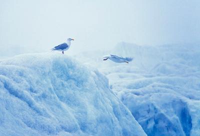 Делай как я арктика, птицы