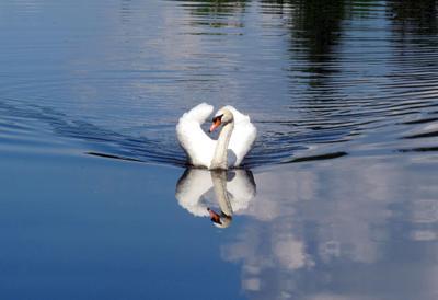 *** птицы лебедь шипун пруд