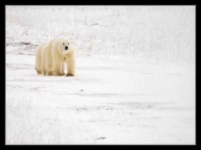 Сороконожка Белый медведь Канада Churchill