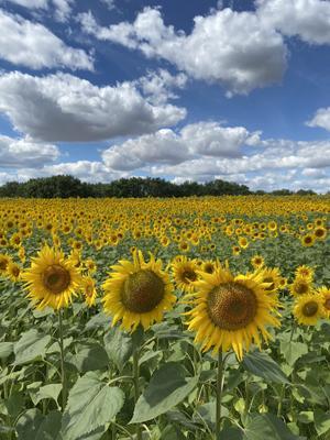 Подсолнухи - осколки солнечного дня