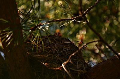 Гнездо, в ожидании мамаши. Весна гнездо птенцы скворец