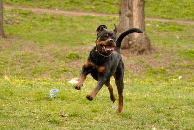 *** ротвейлер собака бег