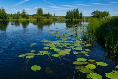 проспект Кувшинок кувшинка река-озеро Онда Карелия лето отражения деревья берег