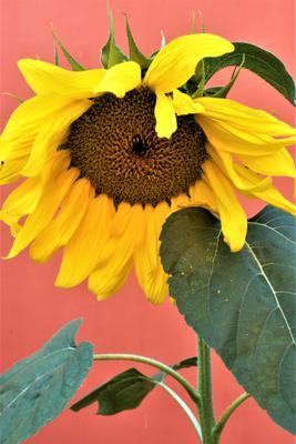 Маленькое солнышко. Сергиев Посад Черниговский скит монастырь цветок подсолнух