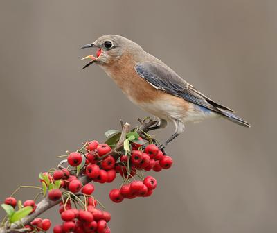 Аммм....Eastern Bluebird female Восточная сиалия (самка).