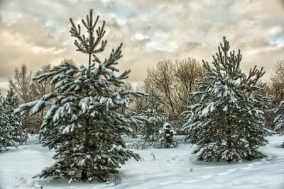 Две ёлки ель зима Москва