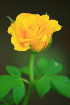 Роза Роза красиво зелень природа макро желтый
