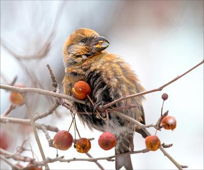 За  ягодками... птицы клёст еловик