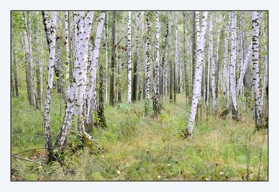 Роща Роща лес сентябрь осень березы