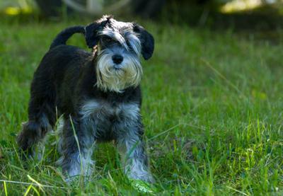 цверг цвергшнауцер собака животные
