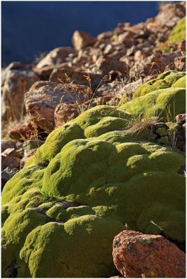 горный мох альпенград, горы,