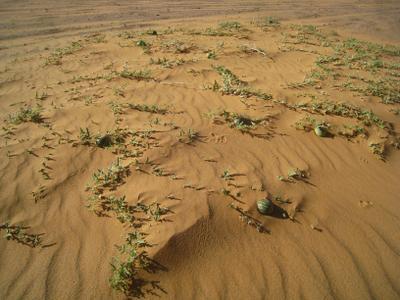 Дикие арбузы, они горькие и противные. Алжир пейзаж скалы