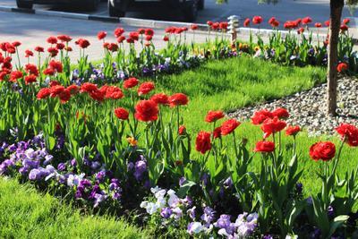 тьльпаны пионовидные красные на клумбе