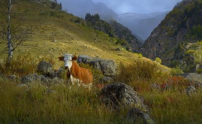 В осеннем пейзаже горы Кавказ утро корова