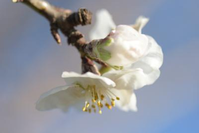 (Prunus dulcis)
