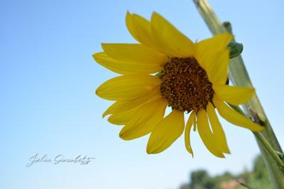 *** julia_gorobets.photosight.ru цветы