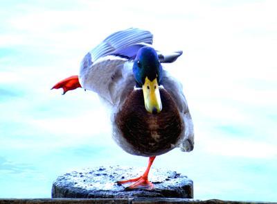 Балет птицы животные