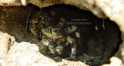 Птицеед Птицеед озЧаны Сибирь фотография природа паукообразные членистоногие страшное Siberia scary Lunnika-Horo няшка Spider nature real