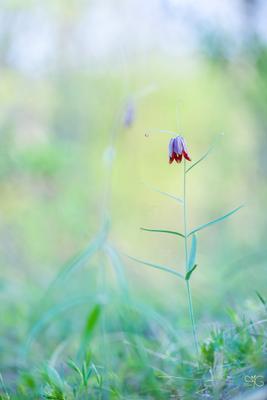 Рябчик русский – редкое краснокнижное растение Рябчик русский Белогорье заповедник весна
