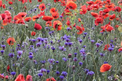 Синее в красном маки васильки цветы поляны