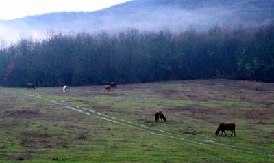 Туманным утром тыловое туман коровы