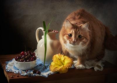 Я в кадре помещаюсь? натюрморт композиция постановка сцена ягоды черешня кот питомец друг рыжий