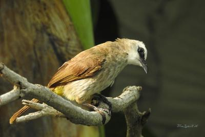 Желтобрюхий настоящий бюльбюль Фотоохота птицы Таиланд бюльбюль желтобрюхий настоящий
