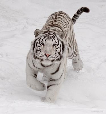Большие кошки. Привет, хозяин!! кошкофото большие кошки белый бенгальский тигр снег зима
