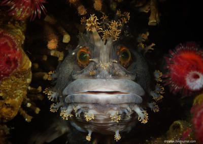 Японское море. Японская мохнатоголовая собачка.