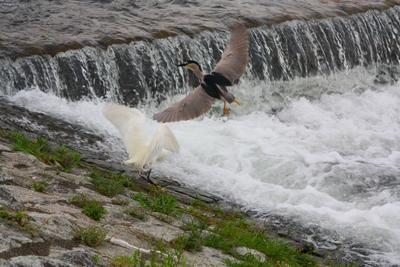 Неравный брак цапля кваква птица Япония Киото Камагава река