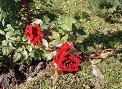 Осенние розы 2 Осень цветы розы