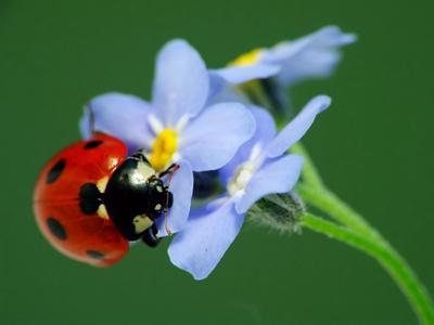 Божья коровка на незабудках макро незабудки цветы божья коровка божья_коровка жук насекомое природа лето дача