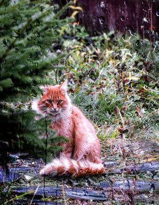 Рыжий... кот осень дождь