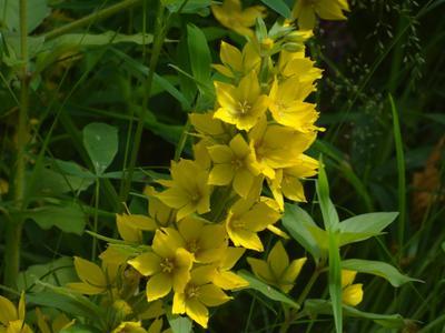 Идут дожди - Пусть будут летние цветы - середина июля*** Вербейник обыкновенный very long distance macro sony dsc-hx200 moscow suburb lysimachia vulgaris close-up flowers