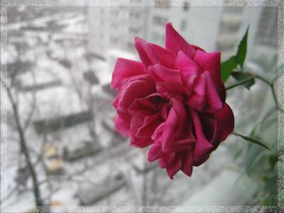 Смотрю, а за окном все серое, зимнее... роза, зима, окно