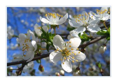 *** весна цветы