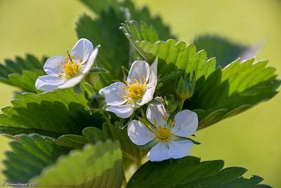 Цветы земляники природа весна лес.растительный мир земляника цветы