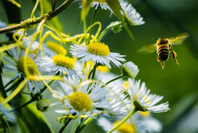 *** лето цветы пчела