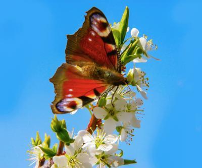 Подарок мая. Бабочка цветы сливы