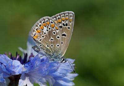 Голубянка изменчивая (Aricia artaxerxes)