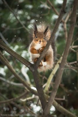 La neige tombait animal branch forest nature park plant snow snowflake squirrel tree winter белка ветка дерево животное зима лес парк природа растение снег снежинка