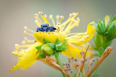 * * * * паук-скакунчик глаза цветок