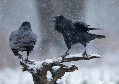 А ну, прочь отсюда! ворон птицы