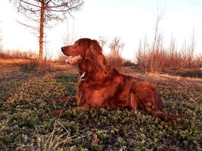 Ирландский сеттер на прогулке природа тундра собака животные Ирландский сеттер солнце поле ягоды закат весна