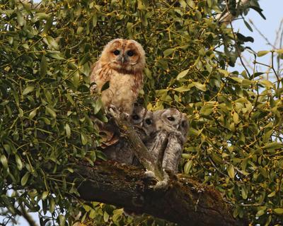 Мама, мы спрятались Серая неясыть Strix aluco Tawny owl