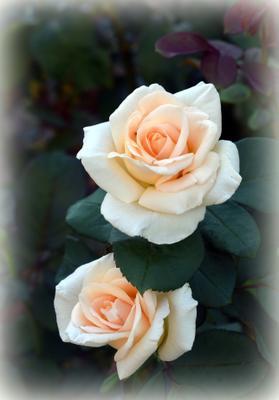 Осенний дуэт сентябрь осень розы цветы