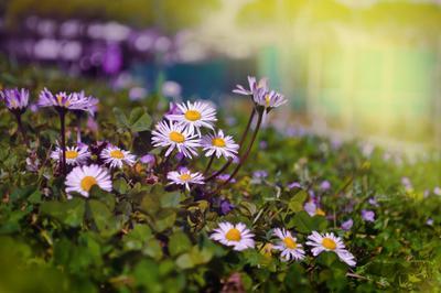 *** margaritas *** цвети маргаритки весна радость нежность желтый жизнь