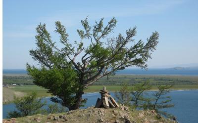 Царь горы Байкал, дерево, коса