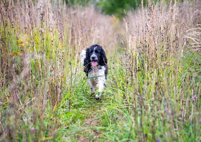 *** собака питомец кокер-спаниель высокая трава