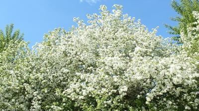 *Яблони в цвету* Яблони цветы голубое небо